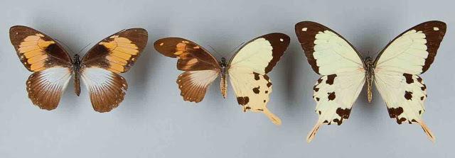 59216-orangebutterflies