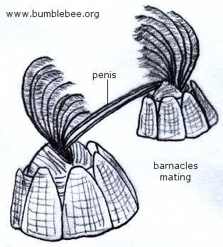 BarnaclesMating