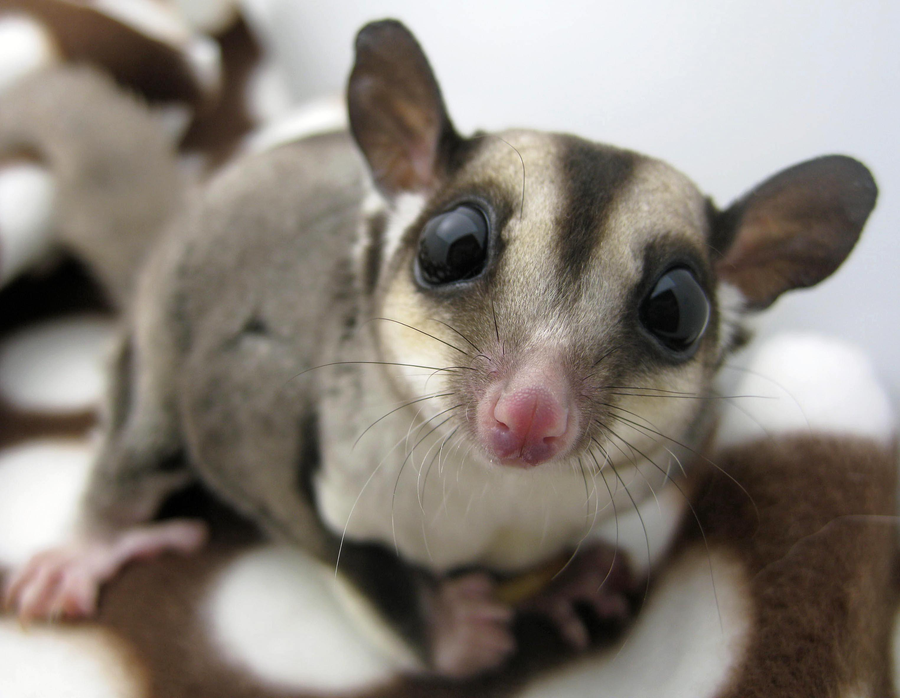 big-eyes-Sugar-Glider