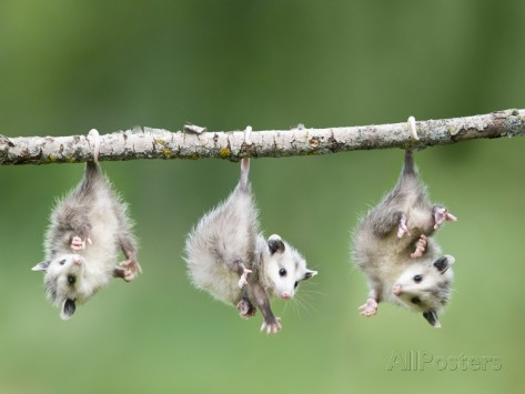 frank-lukasseck-baby-opossum-hanging-from-branch