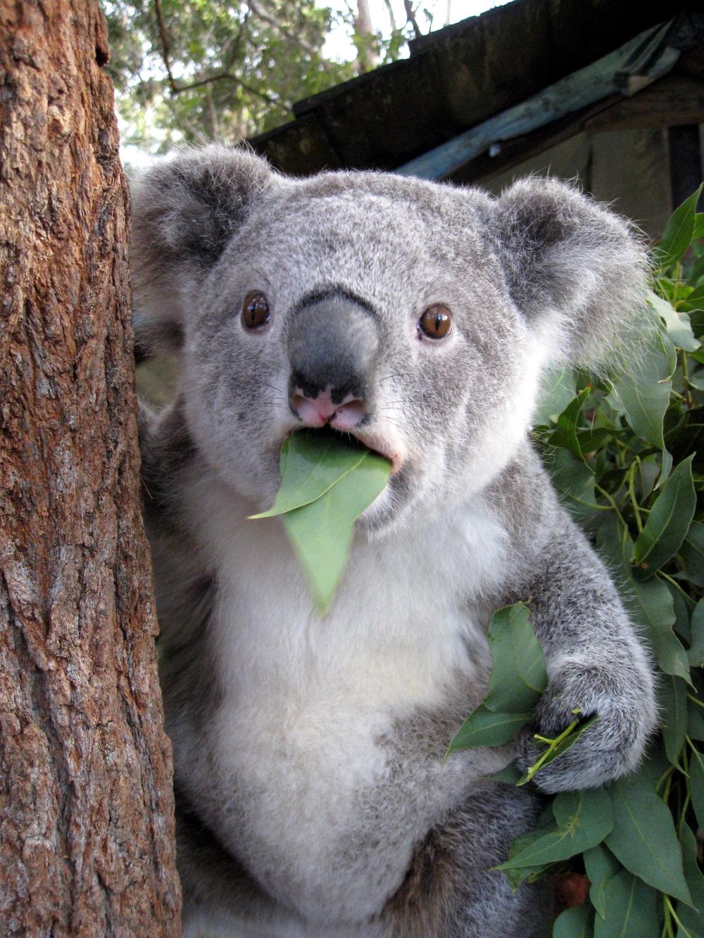 koala_med_blad_i_munden