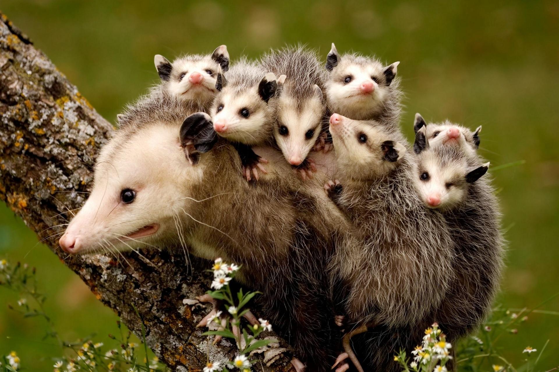 opossum4