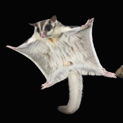 sugar-glider-ig