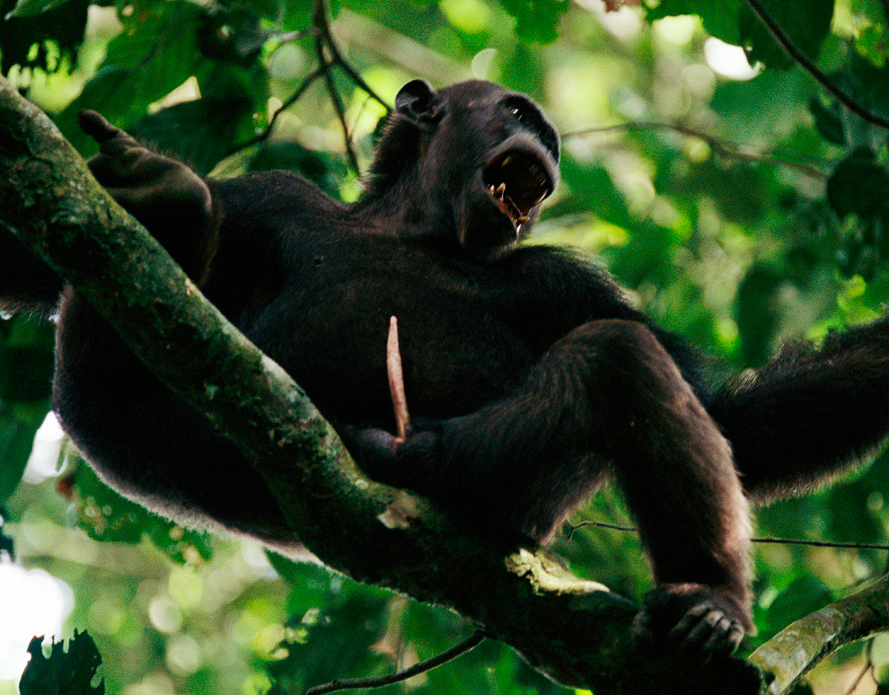 A male chimpanzee howls from a tree top.