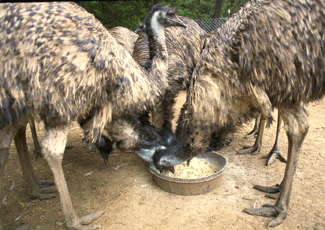Feeding_farmed_Emu