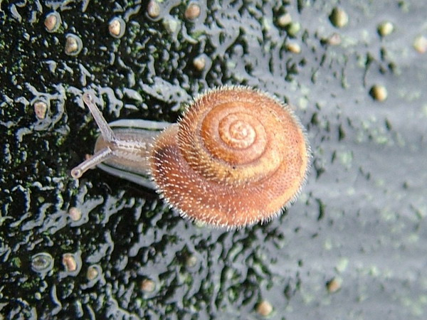 Hairy-pink-snail