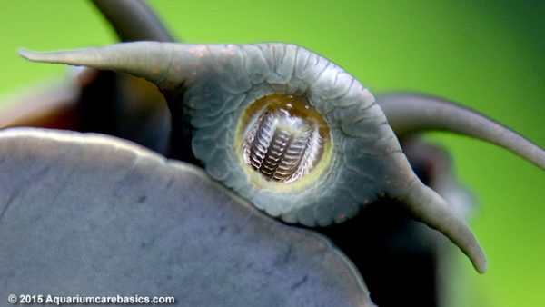 mystery-snail-mouth-teeth-tentacles-e1470840572481